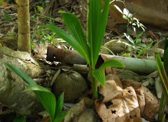 Naissance de cocotiers