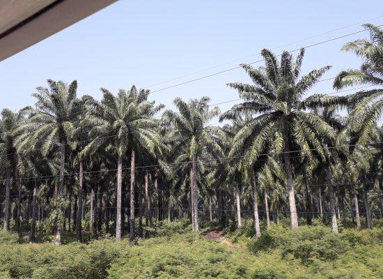 palmier pour l'huile de palme